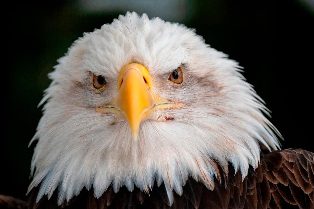 Fotografía de un águila hecha con el Tamron 150-500mm